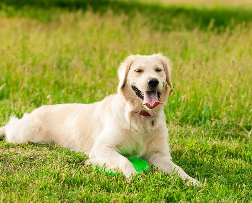 Yellow lab in a field of grass
