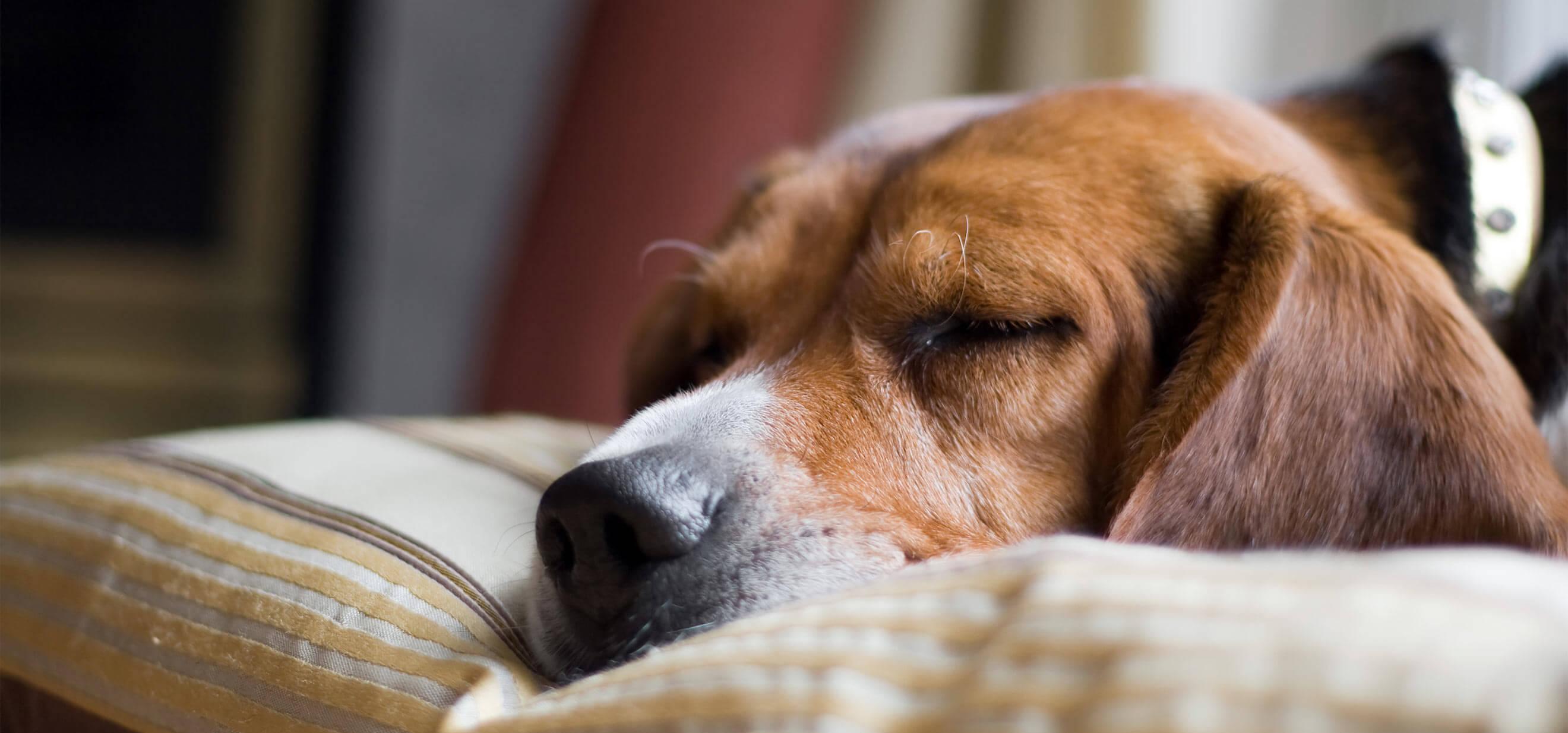 Beagle Dog sleeping on Dog Bed