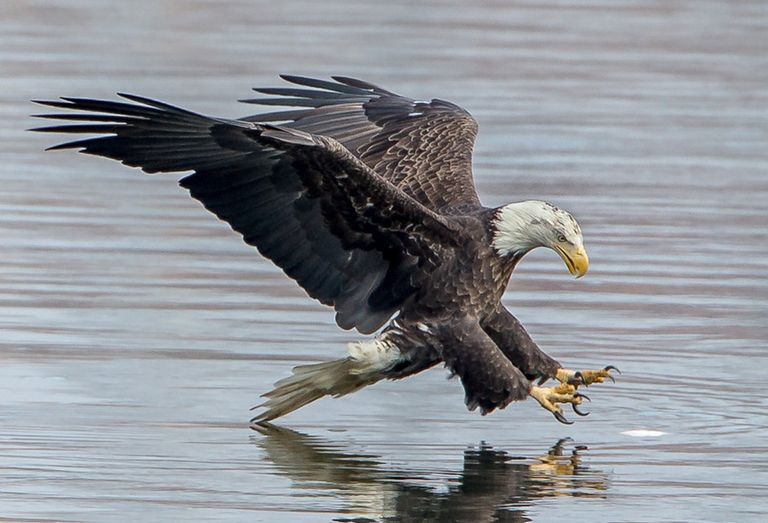 Eagle on water